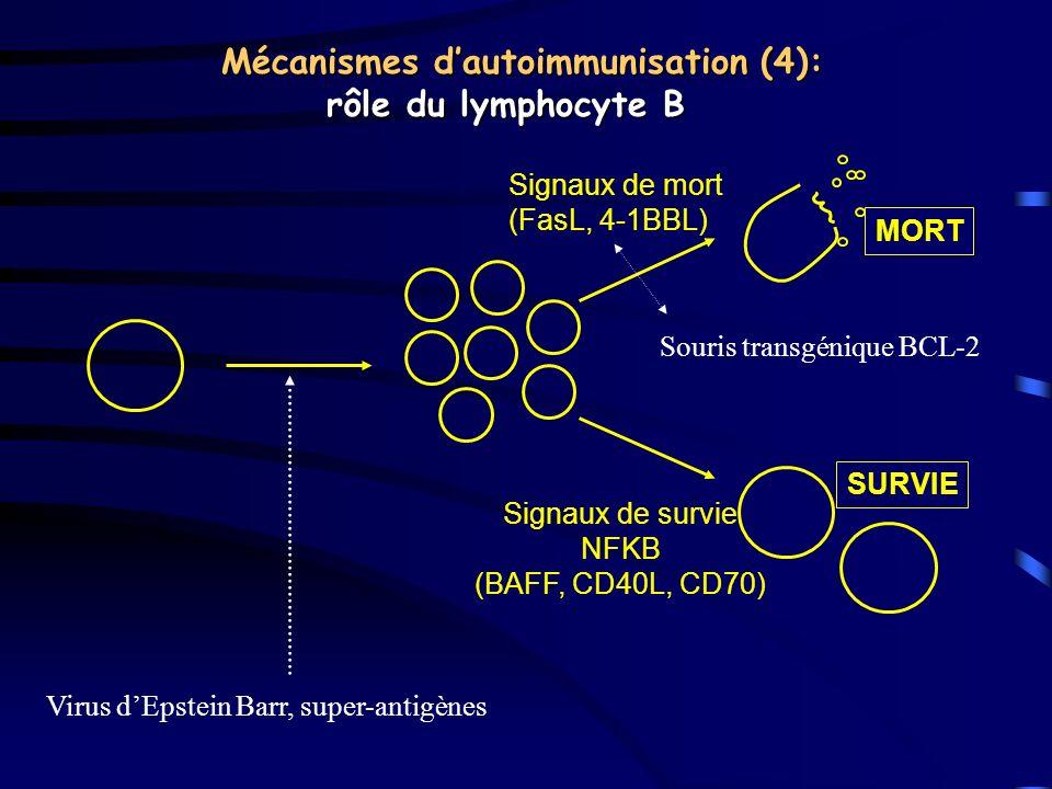 Mécanismes dautoimmunisation (4): rôle du lymphocyte B MORT Signaux de mort (FasL, 4-1BBL) Signaux de survie NFKB (BAFF, CD40L, CD70) SURVIE Virus dEp