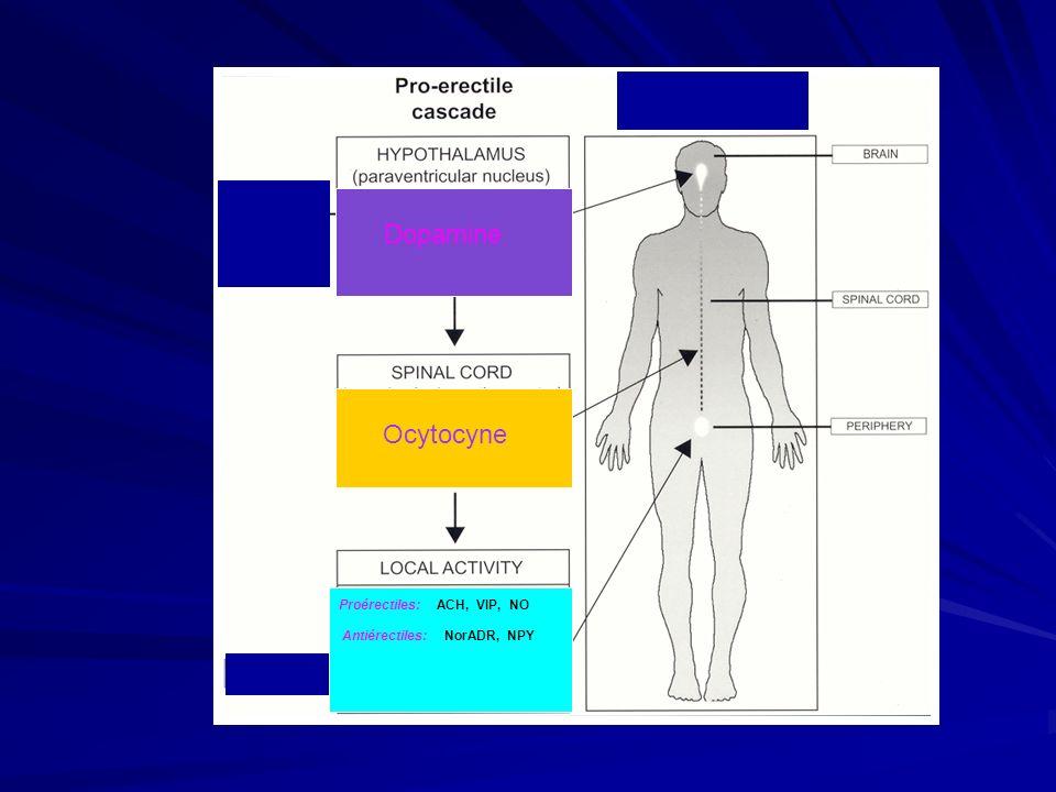 Les Stimuli Le Contact Le Contact - à partir de la peau périphérique - intégré au niveau médullaire - érection « réflexe » Les organes des sens et limaginaire Les organes des sens et limaginaire - - intégré au niveau encéphalique - érection « réfléchie »
