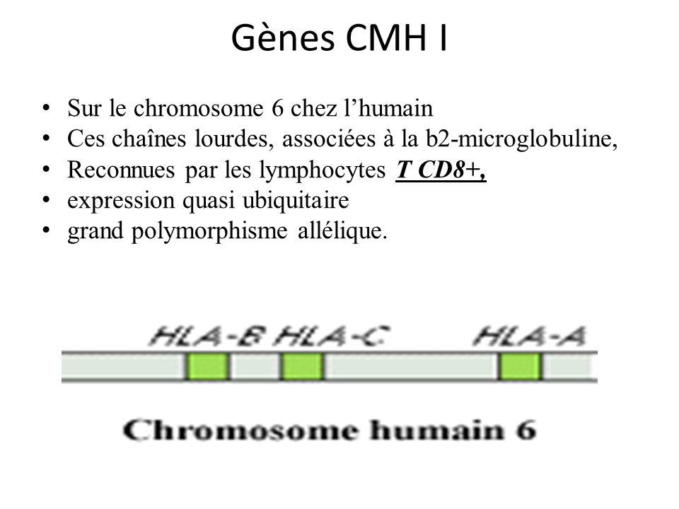 Gènes CMH I Sur le chromosome 6 chez lhumain Ces chaînes lourdes, associées à la b2-microglobuline, Reconnues par les lymphocytes T CD8+, expression quasi ubiquitaire grand polymorphisme allélique.