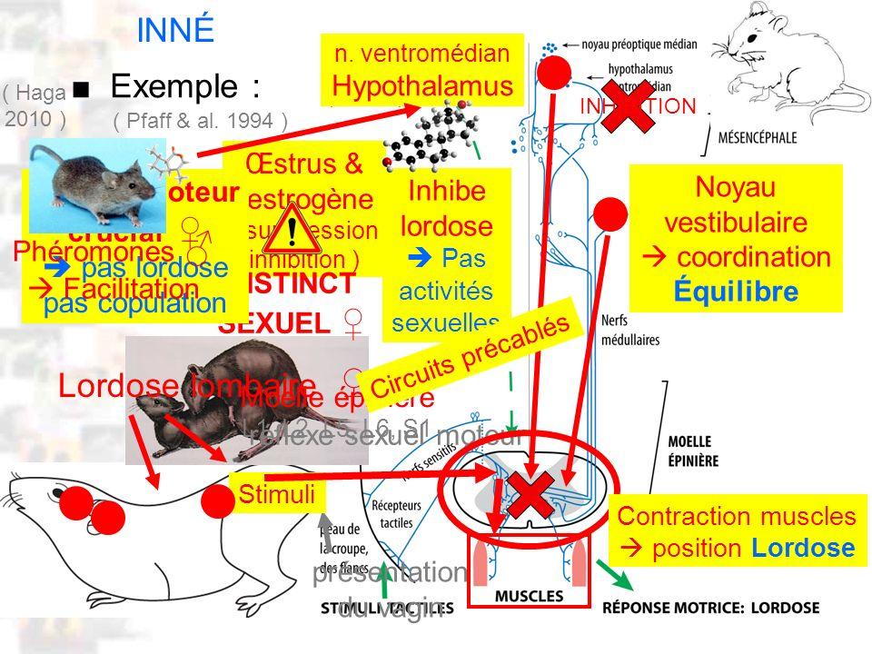 Œstrus & œstrogène ( suppression inhibition ) D20 : Modèles : Mammifères 12 : Réflexes 2 (Lordose) Exemple : ( Pfaff & al. 1994 ) INNÉ réflexe sexuel
