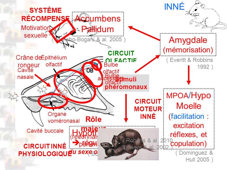 CIRCUIT OLFACTIF INNÉ D18 : Modèles : Mammifères 10 : Phéromones 2 Cavité buccale Cavité nasale Accumbens Pallidum Amygdale (mémorisation) Hypothalamu