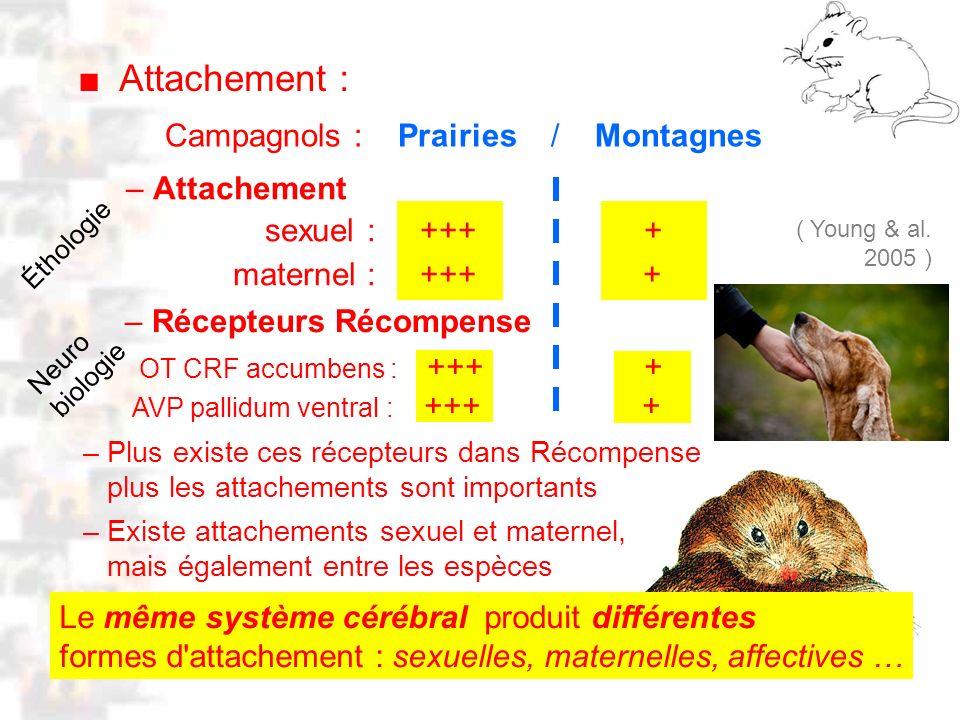 D29 : Modèles : Mammifères 21 : Attachement 1 Attachement : Le même système cérébral produit différentes formes d'attachement : sexuelles, maternelles