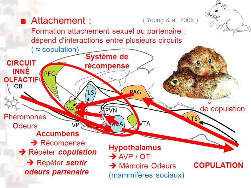 D30 : Modèles : Mammifères 21 : Attachement 2 Attachement : ( Young & al. 2005 ) Accumbens Récompense Répéter copulation Phéromones Odeurs Hypothalamu