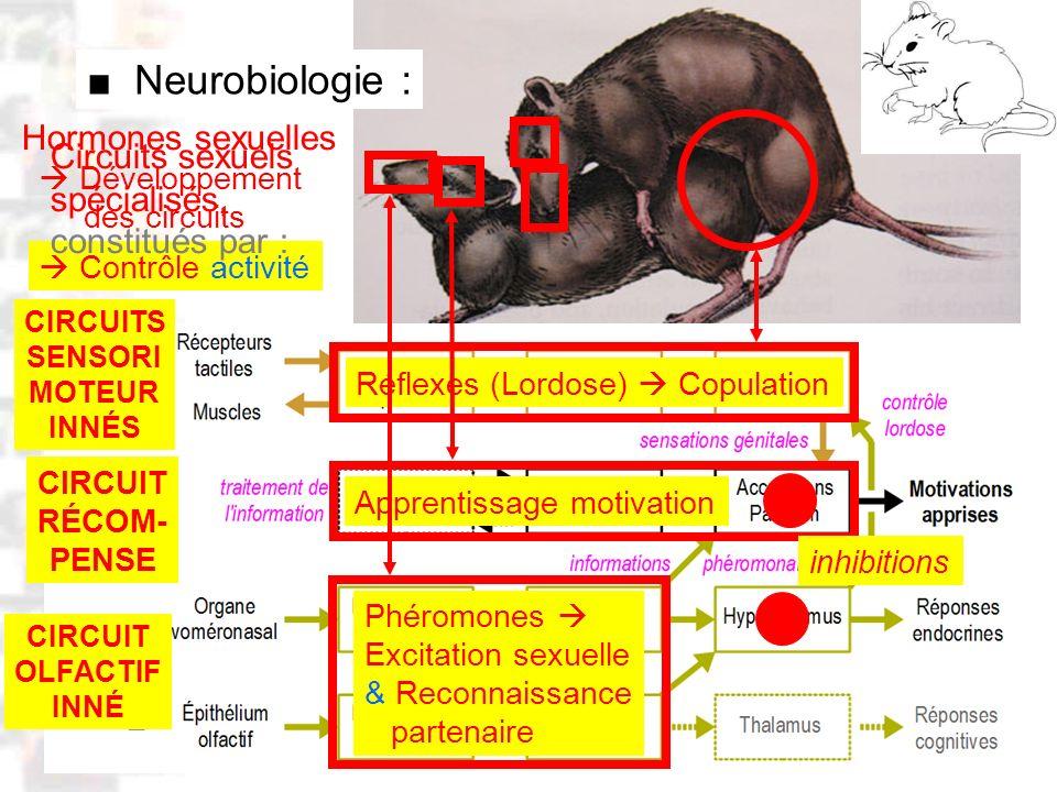 D8 : Modèles : Mammifères 1 : Comportement 1 Neurobiologie : CIRCUITS SENSORI MOTEUR INNÉS CIRCUIT OLFACTIF INNÉ Réflexes (Lordose) Copulation Phéromo
