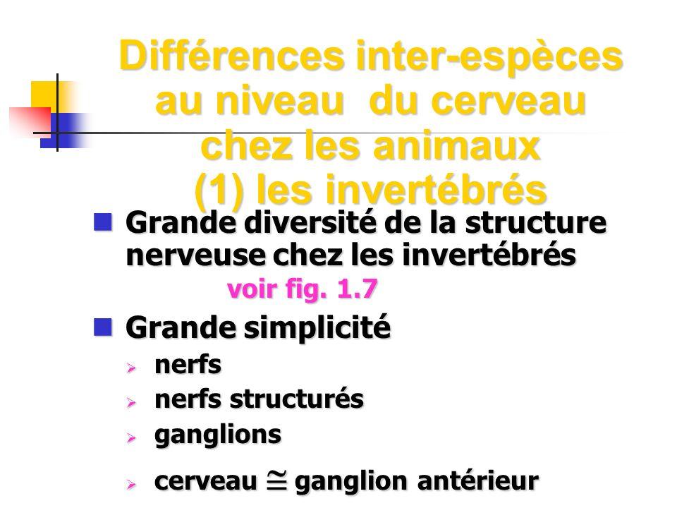 Différences inter-espèces au niveau du cerveau chez les animaux (1) les invertébrés Grande diversité de la structure nerveuse chez les invertébrés voi