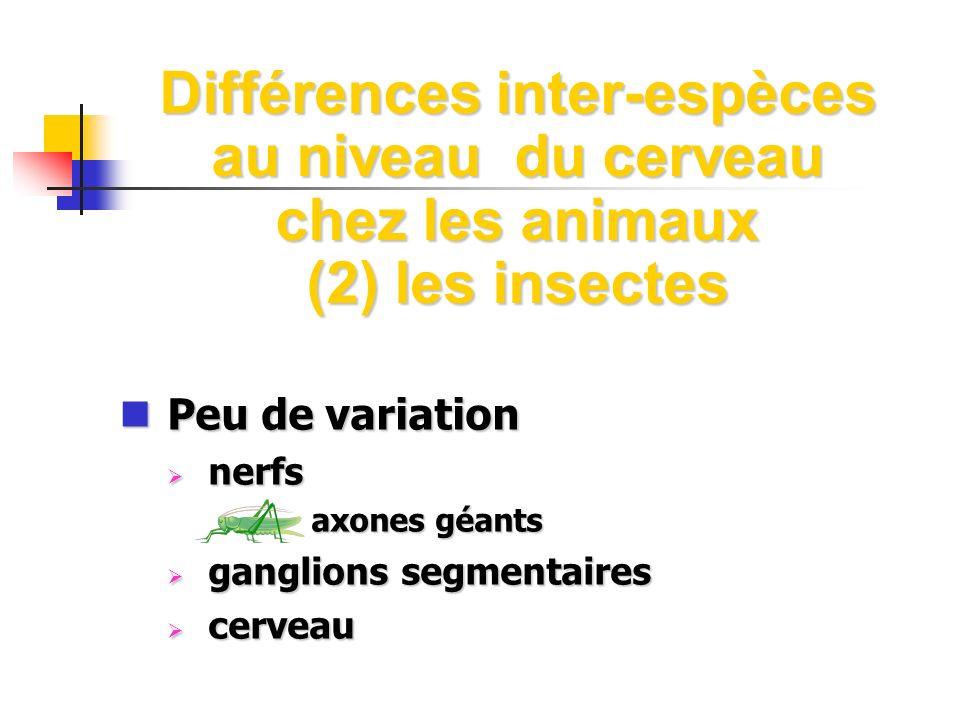 Différences inter-espèces au niveau du cerveau chez les animaux (2) les insectes Peu de variation Peu de variation nerfs nerfs axones géants axones gé