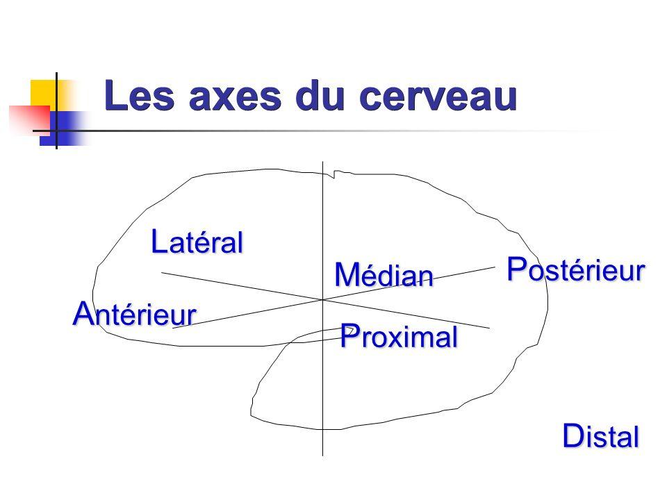 Les axes du cerveau L atéral M édian P roximal D istal A ntérieur P ostérieur