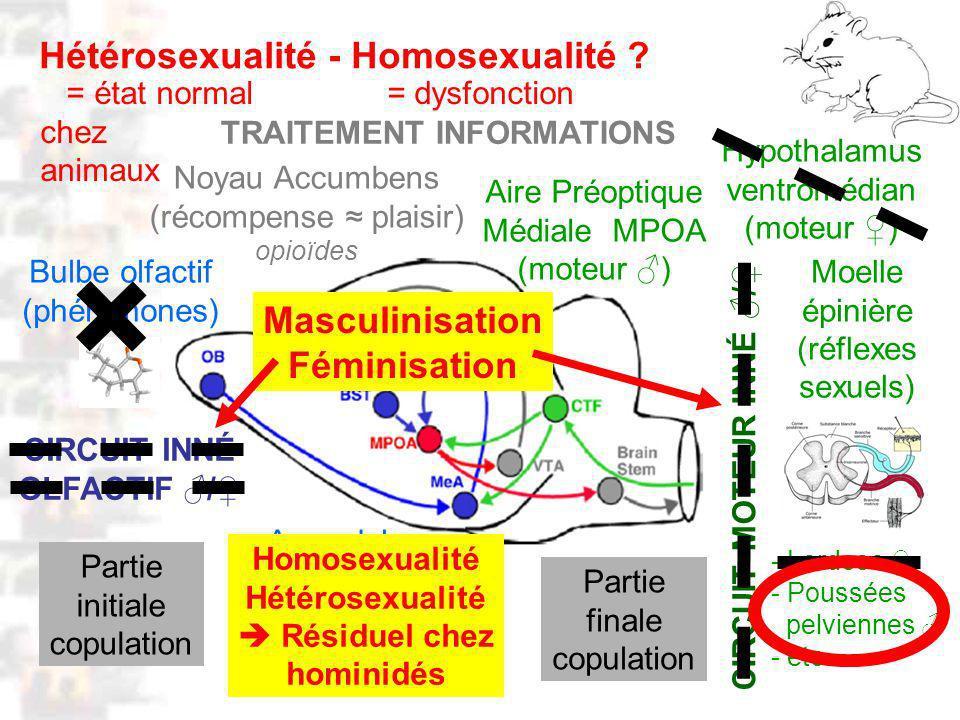 D117 : Modèles : Mammifères 5 : Neuroanatomie 1 Bulbe olfactif (phéromones) Moelle épinière (réflexes sexuels) Amygdale (mémorisation: - odeurs (phéromones) - partenaires - conditionnements) Aire Préoptique Médiale MPOA (moteur ) Noyau Accumbens (récompense plaisir) opioïdes - Lordose - Poussées pelviennes - etc.