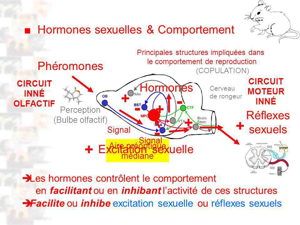 D15 : Modèles : Mammifères 7 : Hormones 2 Les hormones contrôlent le comportement en facilitant ou en inhibant lactivité de ces structures Hormones sexuelles & Comportement Phéromones Réflexes sexuels Principales structures impliquées dans le comportement de reproduction (COPULATION) Cerveau de rongeur Aire préoptique médiane Excitation sexuelle + + - - + - Facilite ou inhibe excitation sexuelle ou réflexes sexuels Perception (Bulbe olfactif) Hormones + + Signal CIRCUIT INNÉ OLFACTIF CIRCUIT MOTEUR INNÉ