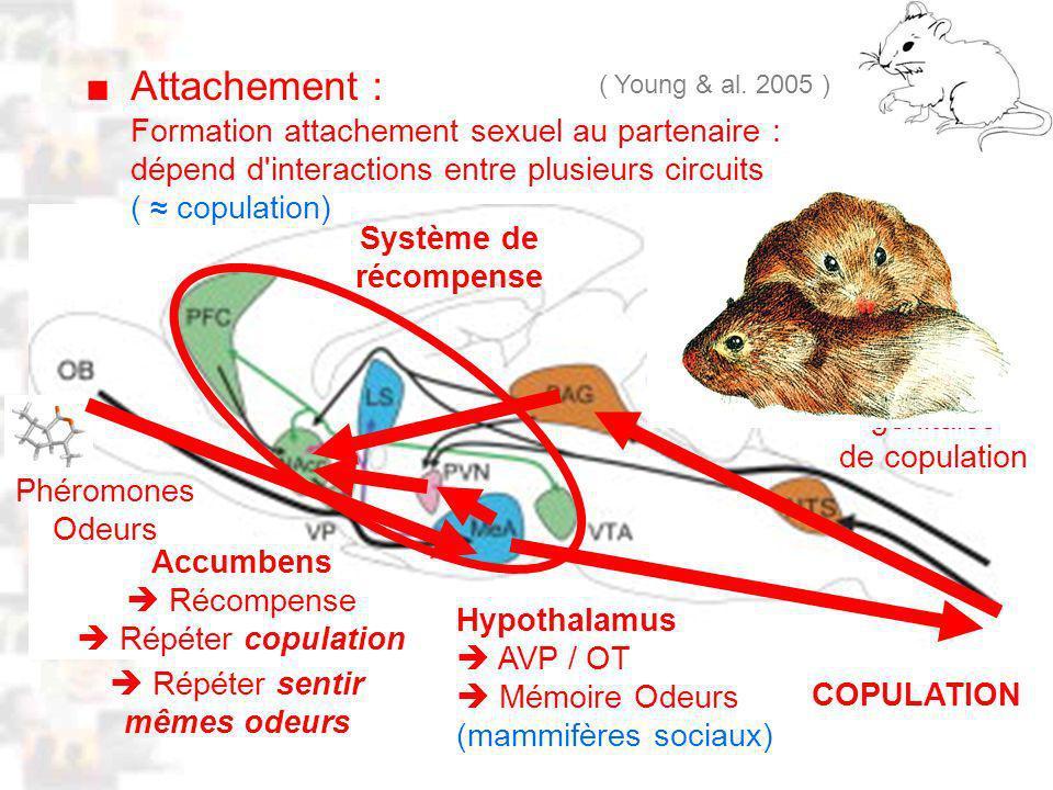 D30 : Modèles : Mammifères 21 : Attachement 2 Attachement : ( Young & al.