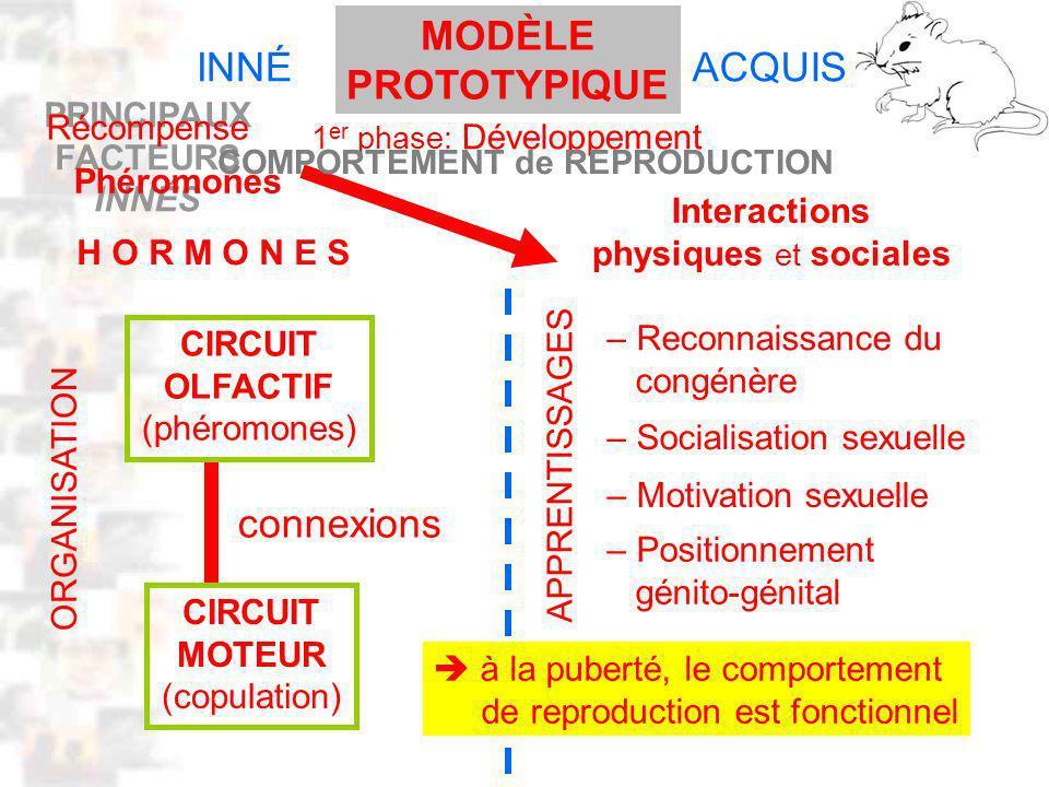 PRINCIPAUX FACTEURS INNÉS D32 : Modèles : Mammifères 22 : Synopsis 1 INNÉACQUIS H O R M O N E S CIRCUIT OLFACTIF (phéromones) CIRCUIT MOTEUR (copulation) connexions Interactions physiques et sociales – Reconnaissance du congénère – Socialisation sexuelle – Motivation sexuelle – Positionnement génito-génital APPRENTISSAGES ORGANISATION à la puberté, le comportement de reproduction est fonctionnel Récompense Phéromones 1 er phase: Développement MODÈLE PROTOTYPIQUE COMPORTEMENT de REPRODUCTION