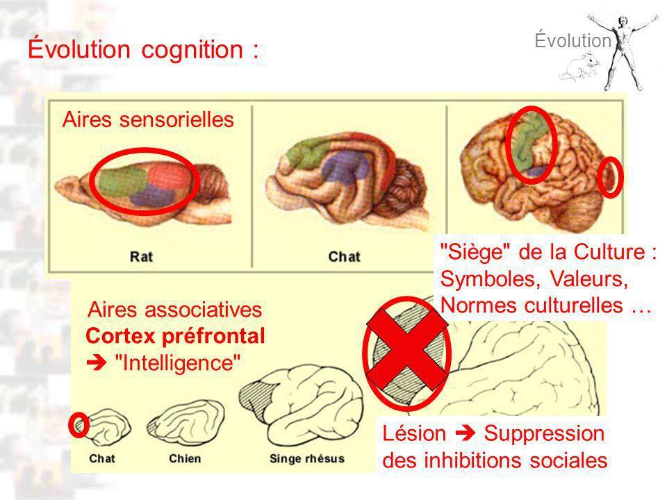 D48 : Modèles : Homme 8 : Évolution 7 Évolution Évolution cognition : Aires associatives Aires sensorielles Cortex préfrontal Intelligence Siège de la Culture : Symboles, Valeurs, Normes culturelles … Lésion Suppression des inhibitions sociales