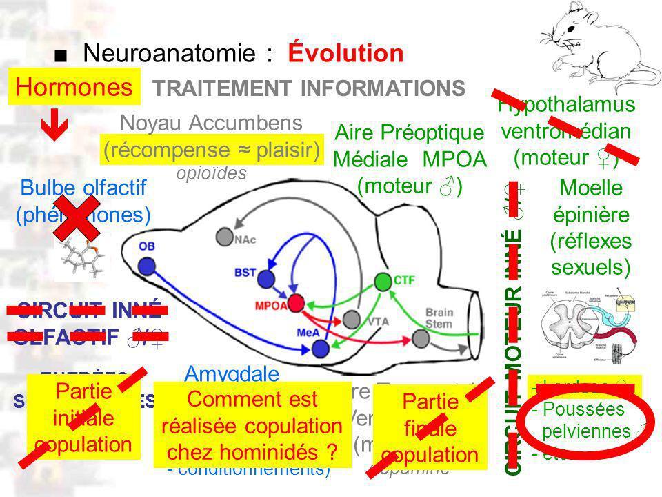 D50 : Modèles : Mammifères 5 : Neuroanatomie 1 Bulbe olfactif (phéromones) Moelle épinière (réflexes sexuels) Amygdale (mémorisation: - odeurs (phéromones) - partenaires - conditionnements) Aire Préoptique Médiale MPOA (moteur ) Noyau Accumbens (récompense plaisir) opioïdes - Lordose - Poussées pelviennes - etc.