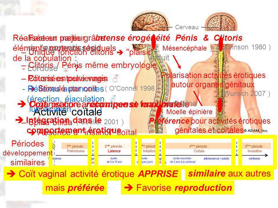 D83 : Modèles : Homme 20 : Développement & Dynamique 14 – Facteur majeur : Intense érogénéité Pénis & Clitoris Préférence pour activités érotiques génitales et coïtales Activité coïtale Polarisation activités érotiques autour organes génitaux ( Masters & Johnson 1980 ) ( Wunsch 2007 ) – Unique fonction clitoris plaisir – Clitoris / Pénis même embryologie – Clitoris entoure vagin Stimulé par coït – Spina bifida Absence d instinct coïtal ( O Connel 1998 ) ( Soulier 2001 ) Coït vaginal activité érotique APPRISE similaire aux autres mais préférée Favorise reproduction Cerveau Moelle épinière Mésencéphale Moelle épinière de l apprentissage Périodes développement similaires Réalisée en partie grâce éléments moteurs résiduels de la copulation : - Lordose .