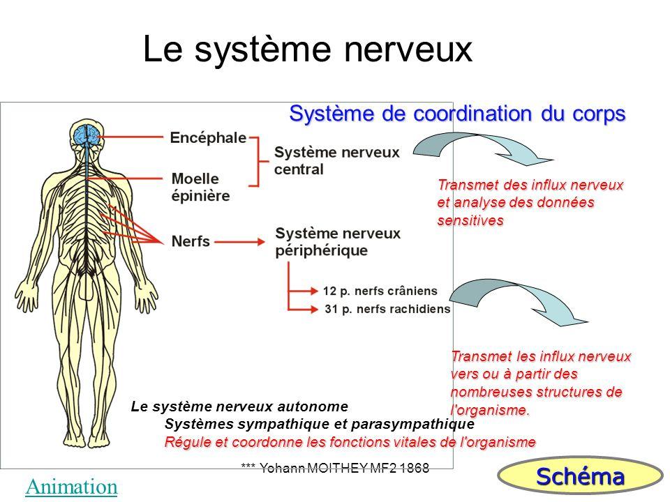 *** Yohann MOITHEY MF2 186827 Transmet des influx nerveux et analyse des données sensitives Transmet les influx nerveux vers ou à partir des nombreuse