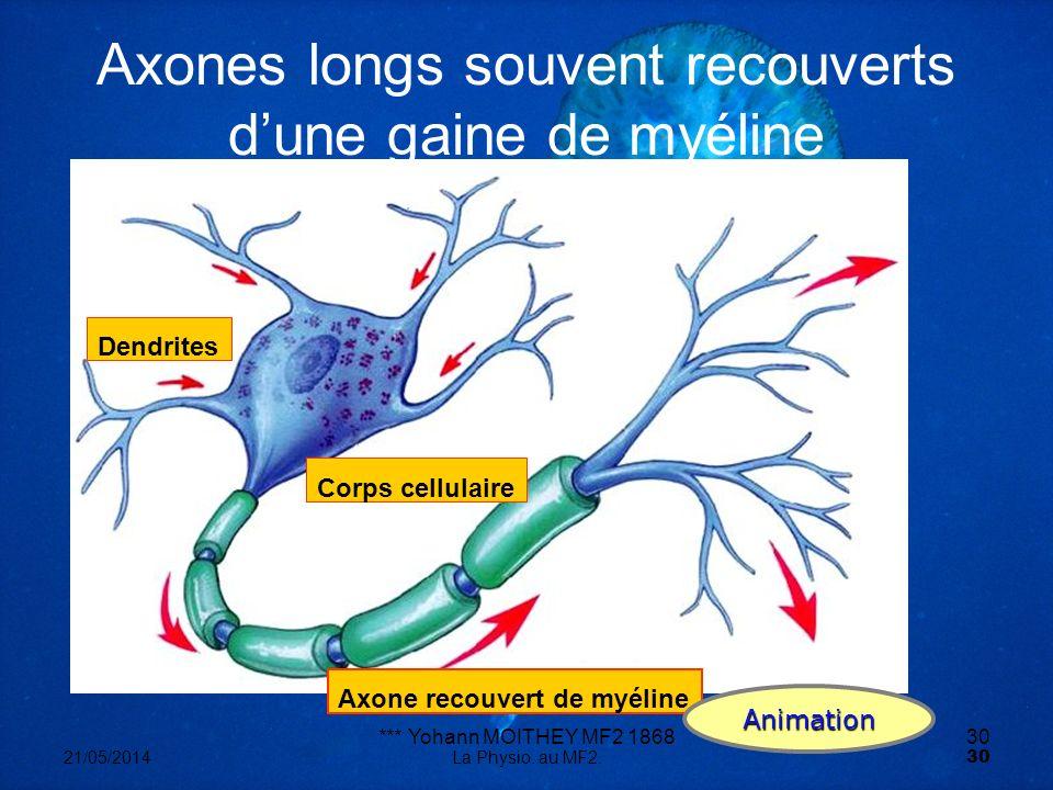 *** Yohann MOITHEY MF2 186830 21/05/2014La Physio. au MF2. 30 Axone recouvert de myéline Dendrites Corps cellulaire Axones longs souvent recouverts du