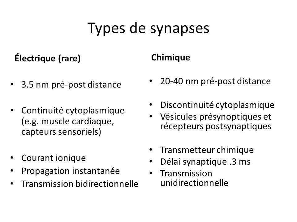 Types de synapses Électrique (rare) 3.5 nm pré-post distance Continuité cytoplasmique (e.g. muscle cardiaque, capteurs sensoriels) Courant ionique Pro