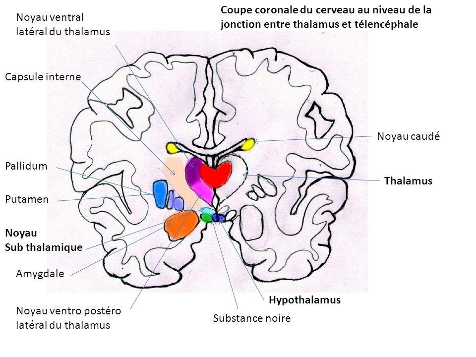 Noyau ventro postéro latéral du thalamus Noyau ventral latéral du thalamus Thalamus Noyau caudé Hypothalamus Substance noire Amygdale Noyau Sub thalam
