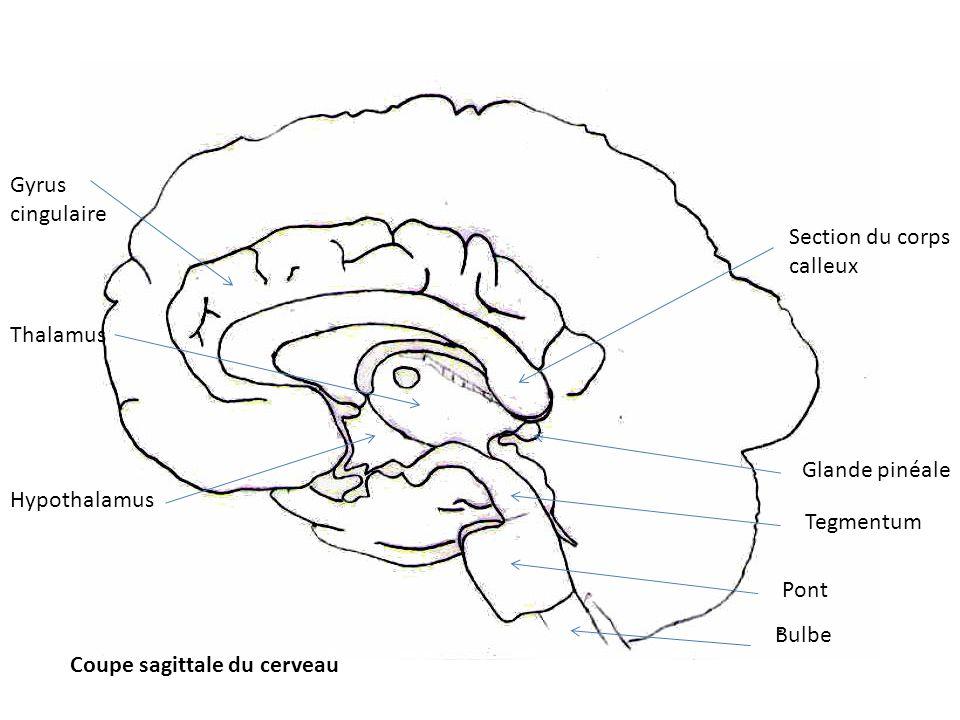 9- NOYAU LATERAL POSTERIEUR ET PULVINAR : - Entrées : reçoivent des afférences du colliculus supérieur, et pour le pulvinar : des lobes temporal, pariétal et occipital ; pour le noyau latéral postérieur : du lobe pariétal.