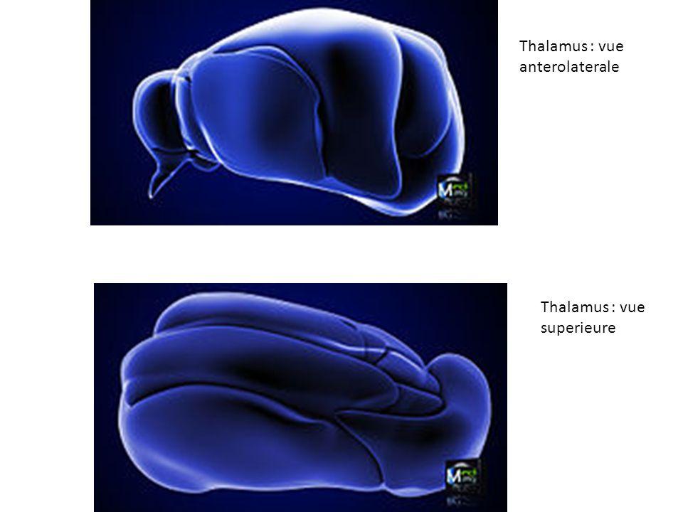 Thalamus : vue anterolaterale Thalamus : vue superieure