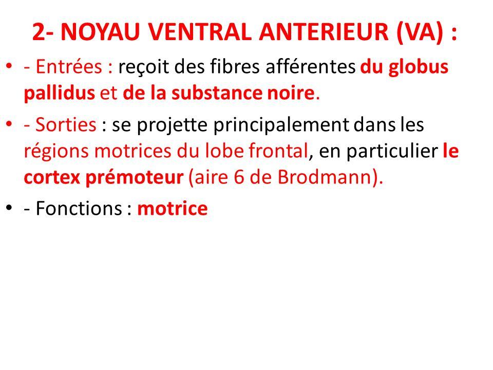 2- NOYAU VENTRAL ANTERIEUR (VA) : - Entrées : reçoit des fibres afférentes du globus pallidus et de la substance noire. - Sorties : se projette princi