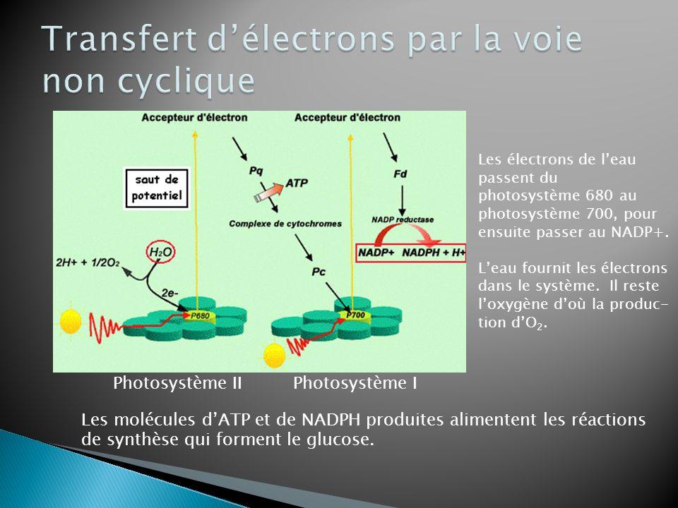 Les molécules dATP et de NADPH produites alimentent les réactions de synthèse qui forment le glucose. Les électrons de leau passent du photosystème 68
