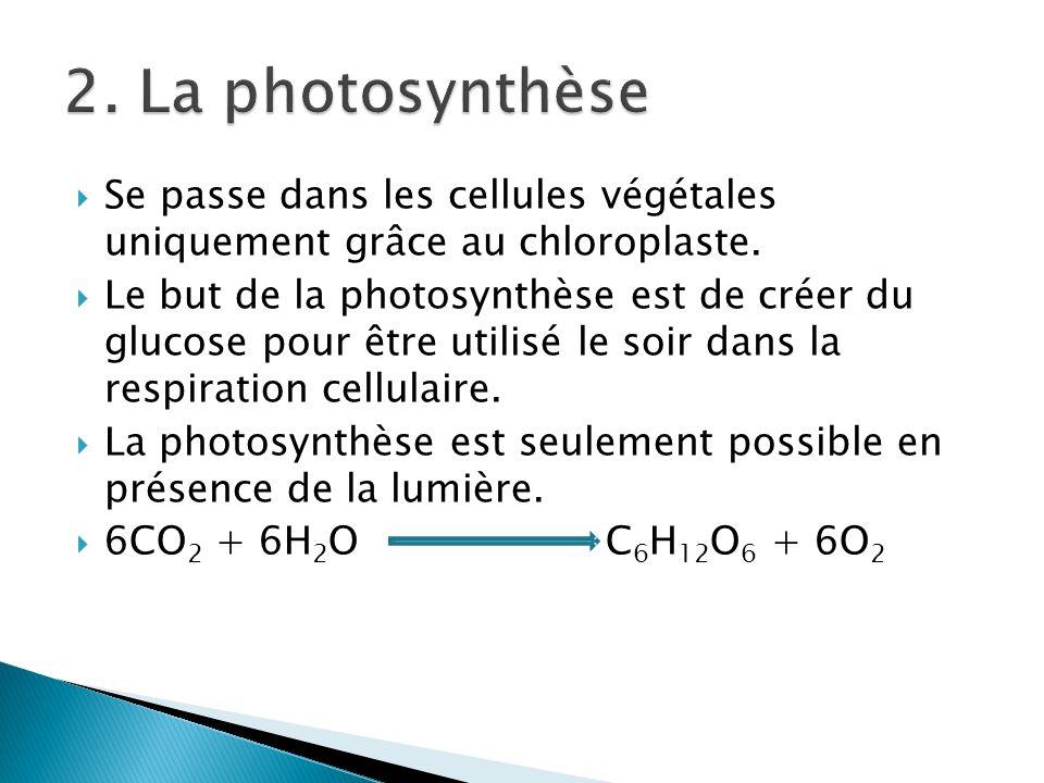 Se passe dans les cellules végétales uniquement grâce au chloroplaste. Le but de la photosynthèse est de créer du glucose pour être utilisé le soir da