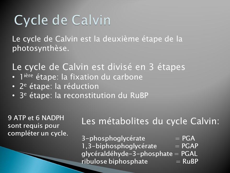 Les métabolites du cycle Calvin: 3-phosphoglycérate = PGA 1,3-biphosphoglycérate = PGAP glycéraldéhyde-3-phosphate = PGAL ribulose biphosphate = RuBP