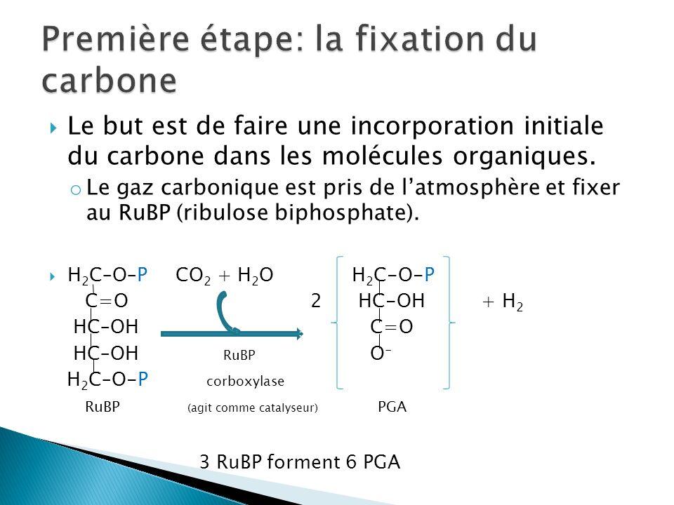 Le but est de faire une incorporation initiale du carbone dans les molécules organiques. o Le gaz carbonique est pris de latmosphère et fixer au RuBP