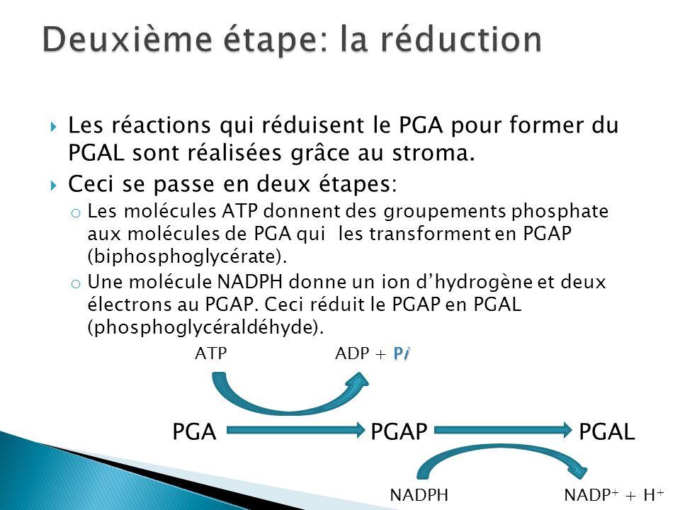 Les réactions qui réduisent le PGA pour former du PGAL sont réalisées grâce au stroma. Ceci se passe en deux étapes: o Les molécules ATP donnent des g