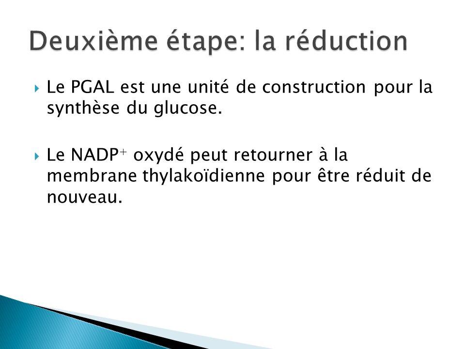 Le PGAL est une unité de construction pour la synthèse du glucose. Le NADP + oxydé peut retourner à la membrane thylakoïdienne pour être réduit de nou