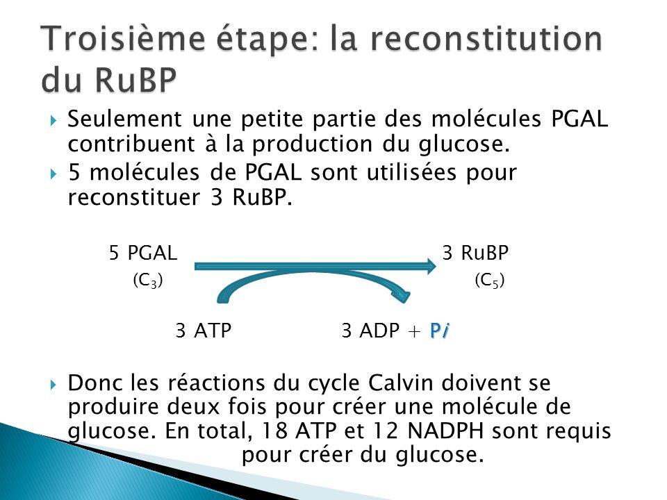 Seulement une petite partie des molécules PGAL contribuent à la production du glucose. 5 molécules de PGAL sont utilisées pour reconstituer 3 RuBP. 5