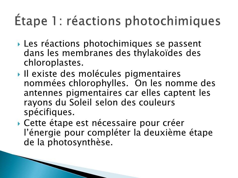 Les réactions photochimiques se passent dans les membranes des thylakoïdes des chloroplastes. Il existe des molécules pigmentaires nommées chlorophyll