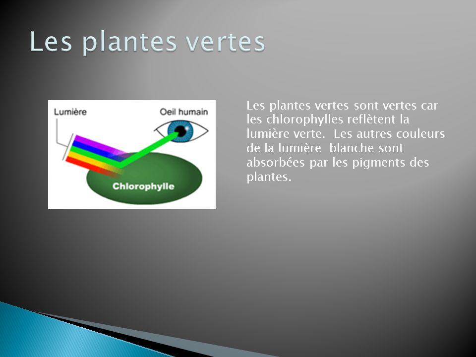 Les plantes vertes sont vertes car les chlorophylles reflètent la lumière verte. Les autres couleurs de la lumière blanche sont absorbées par les pigm