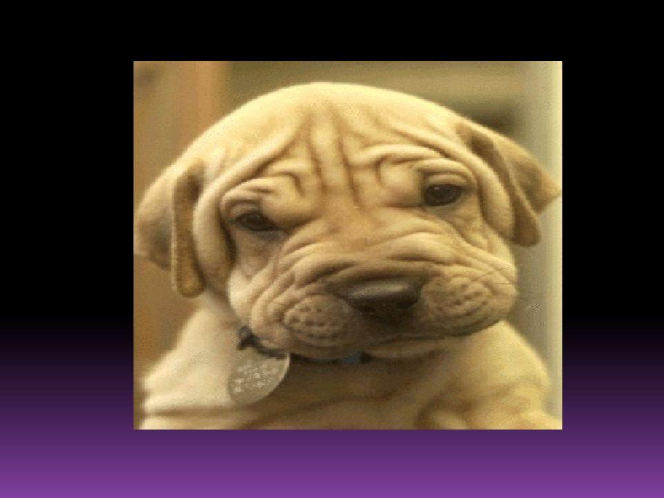 Le chien qui vit dans un monde de sympathie est hypersensible au moindre indice émis par le corps du propriétaire adoré. Cest donc bien une matérialis