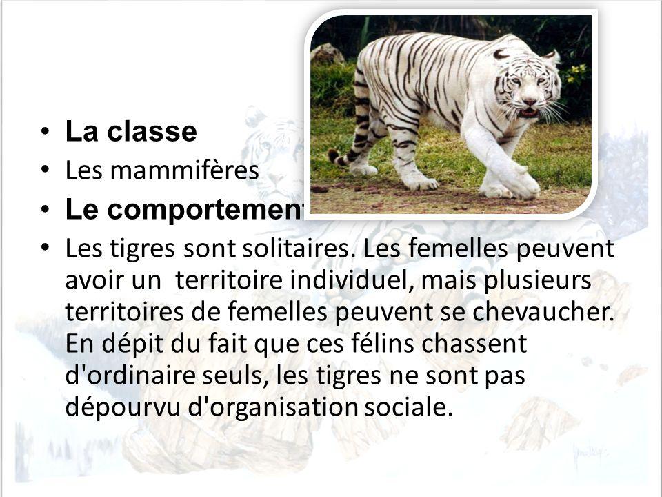La classe Les mammifères Le comportement Les tigres sont solitaires. Les femelles peuvent avoir un territoire individuel, mais plusieurs territoires d