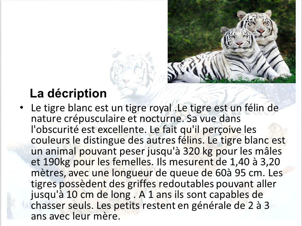 La décription Le tigre blanc est un tigre royal.Le tigre est un félin de nature crépusculaire et nocturne. Sa vue dans l'obscurité est excellente. Le