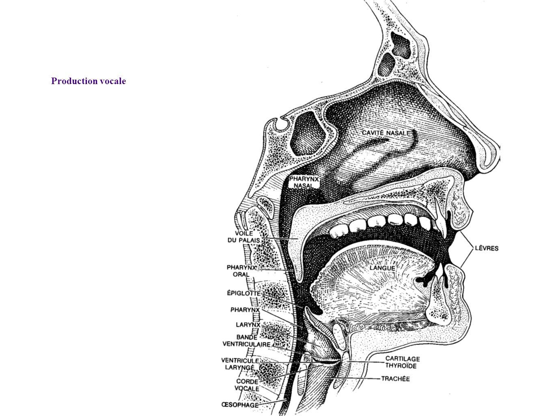 Production vocale Coupe montrant la position des cordes vocales et les résonateurs, Belin, «Pour la Science – Sons et Musique»