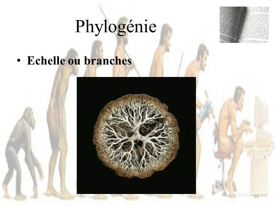Echelle ou branches Phylogénie 19