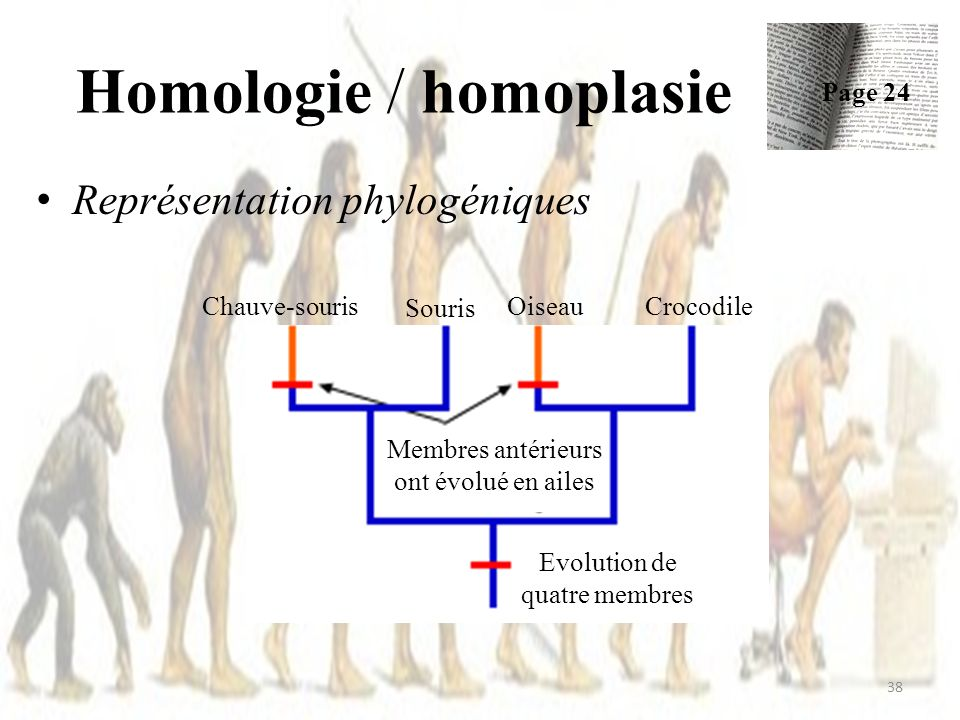 Homologie / homoplasie Représentation phylogéniques 38 Page 24 Chauve-souris Evolution de quatre membres Membres antérieurs ont évolué en ailes Oiseau Souris Crocodile