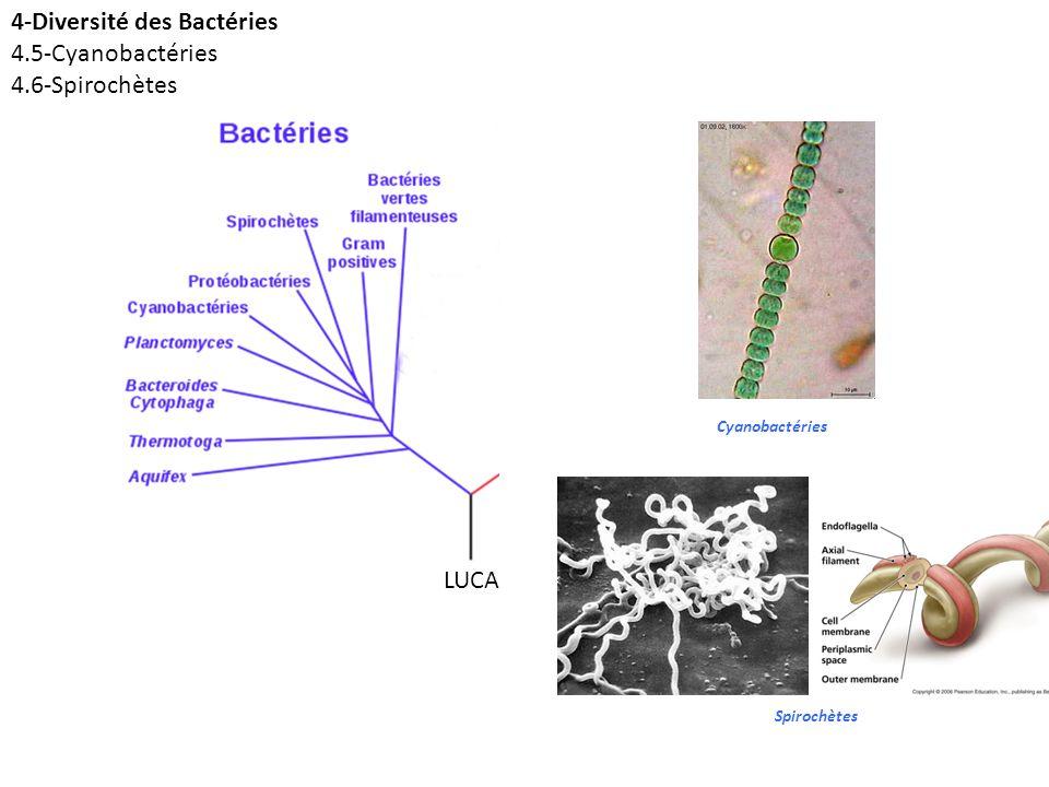 LUCA Cyanobactéries Spirochètes 4-Diversité des Bactéries 4.5-Cyanobactéries 4.6-Spirochètes