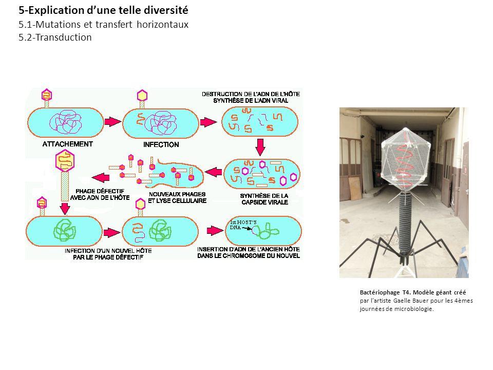5-Explication dune telle diversité 5.1-Mutations et transfert horizontaux 5.2-Transduction Bactériophage T4. Modèle géant créé par lartiste Gaelle Bau