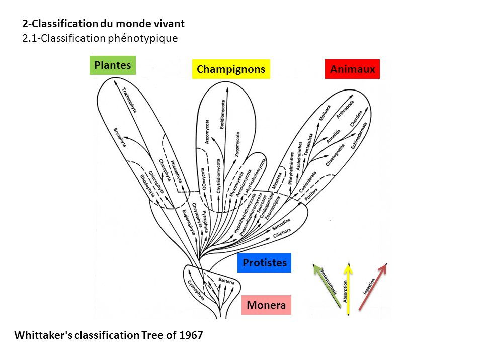 1960 Whittaker 2-Classification du monde vivant 2.1-Classification phénotypique Plantes AnimauxChampignons Protistes Monera Whittaker's classification