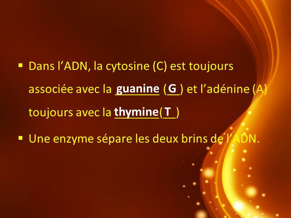 Dans lADN, la cytosine (C) est toujours associée avec la _______ (__) et ladénine (A) toujours avec la _______(__) Une enzyme sépare les deux brins de