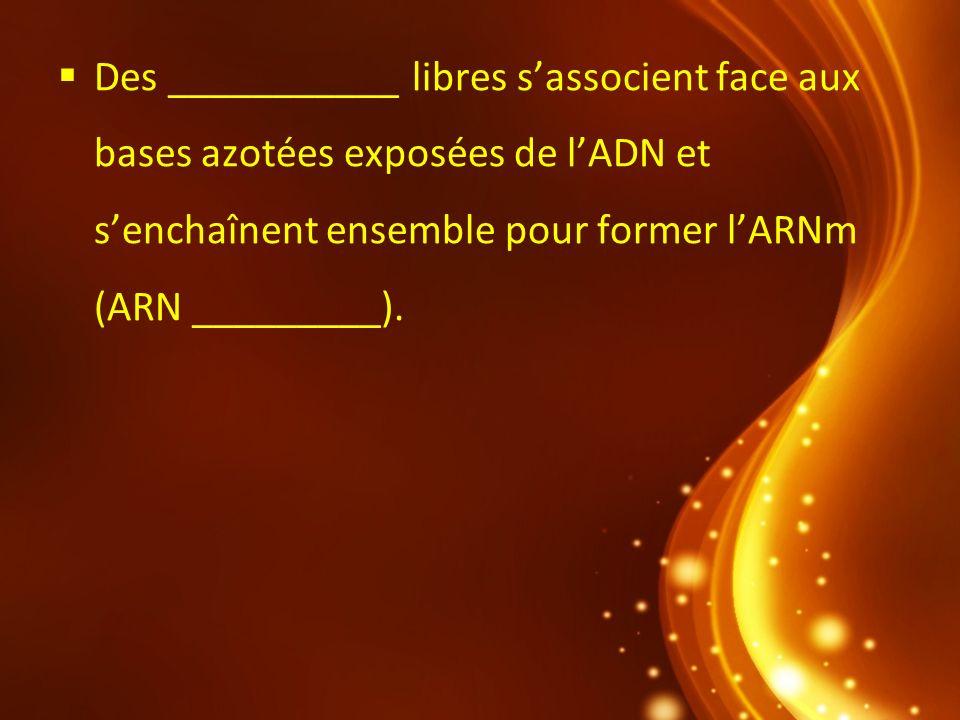 Des ___________ libres sassocient face aux bases azotées exposées de lADN et senchaînent ensemble pour former lARNm (ARN _________).