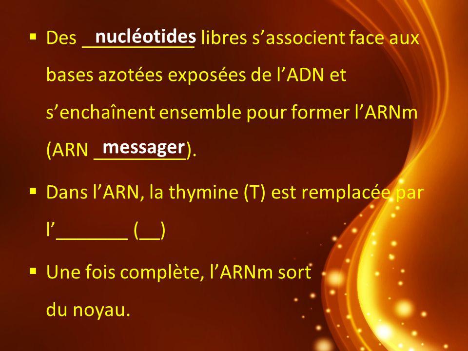 Dans lARN, la thymine (T) est remplacée par l_______ (__) Une fois complète, lARNm sort du noyau. nucléotides messager