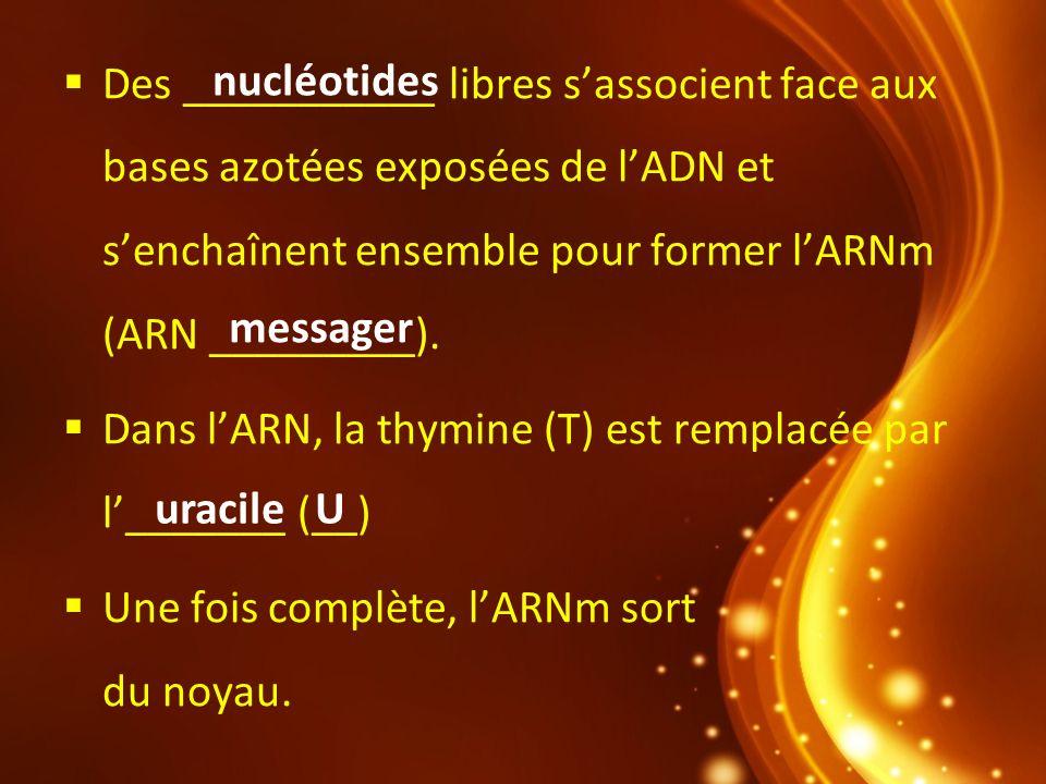 Des ___________ libres sassocient face aux bases azotées exposées de lADN et senchaînent ensemble pour former lARNm (ARN _________). Dans lARN, la thy