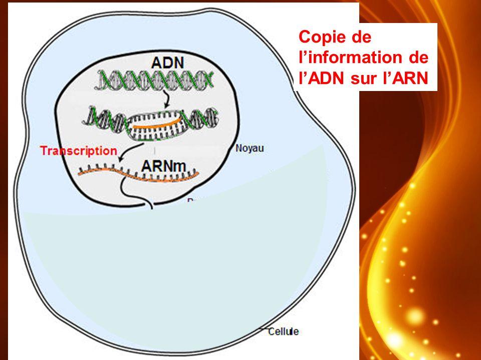 Copie de linformation de lADN sur lARN