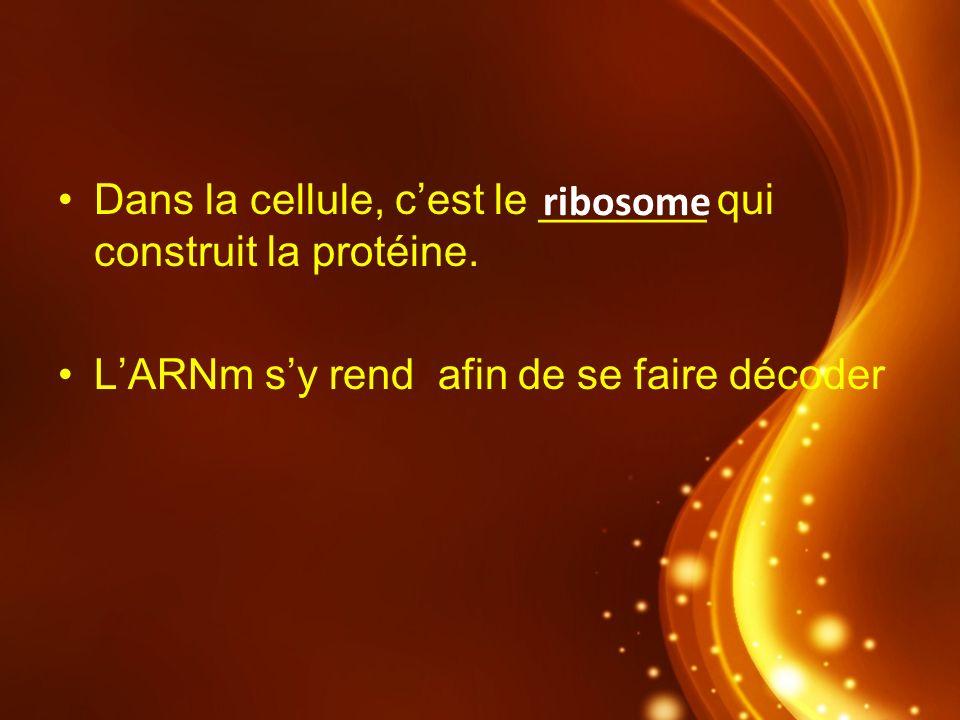 Dans la cellule, cest le _______ qui construit la protéine. LARNm sy rend afin de se faire décoder ribosome