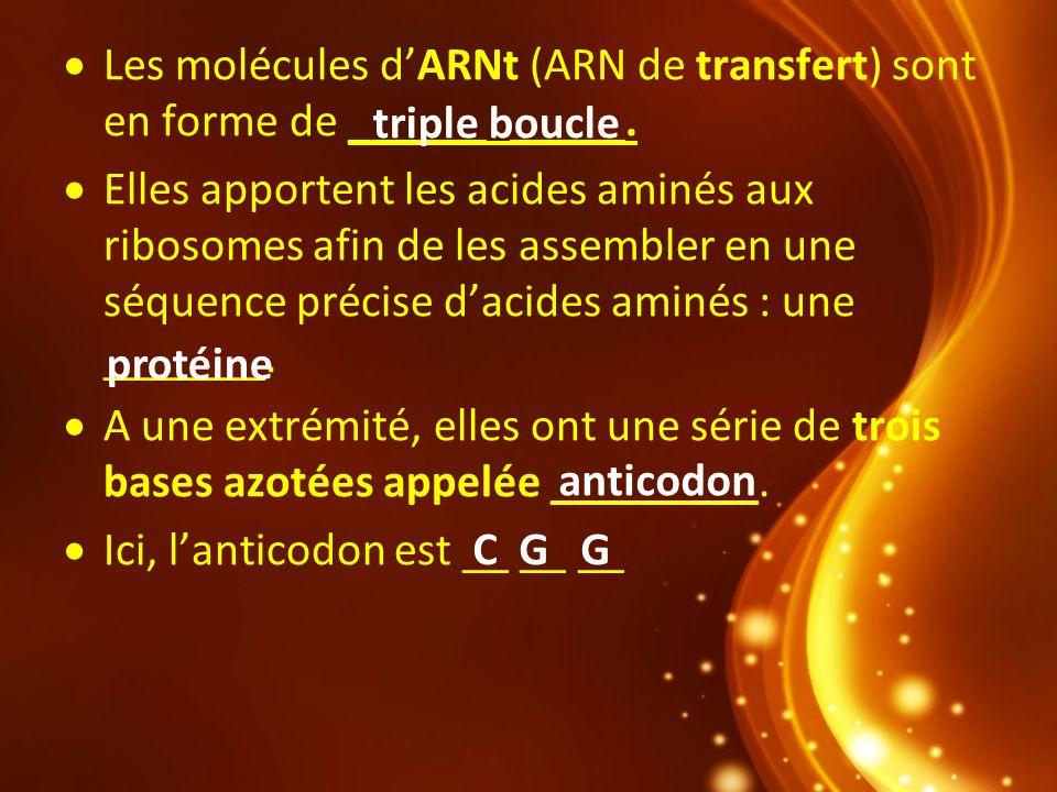Les molécules dARNt (ARN de transfert) sont en forme de ______ _____. Elles apportent les acides aminés aux ribosomes afin de les assembler en une séq